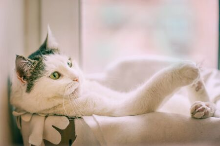 funny photo of white cat in the box pur in cat bed with paws outstretched close up photo on window background