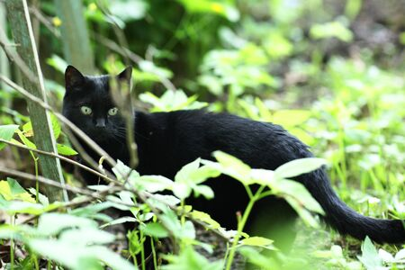 country black cat outdoor closeup photo hunting on green grass background