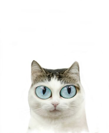 funny cute blue eyed cat close up portrait isolated on white