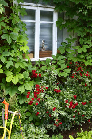 country house window with wild grape plant and red roses bush close up photo