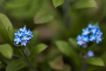 A macro shot of a cluster of blue Forget Me Not flowers