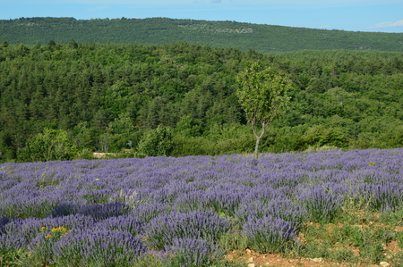 healthy economy: Lavenders in Provence, Sault, South of France
