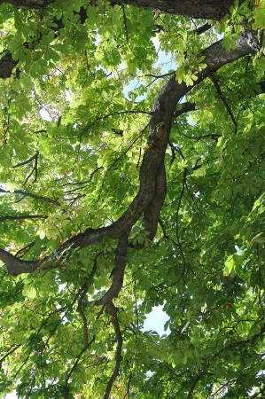 buckeye tree: Tree branch with leaves