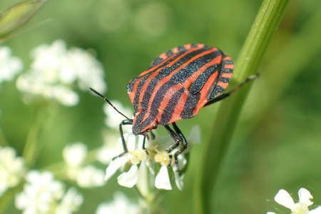 Striped beetle on a plant 写真素材