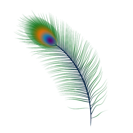 peacock feathers: Aislado vector de la pluma del pavo real