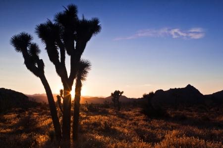joshua: Silhouette of a Joshua Tree at sunset - Mojave Desert, California