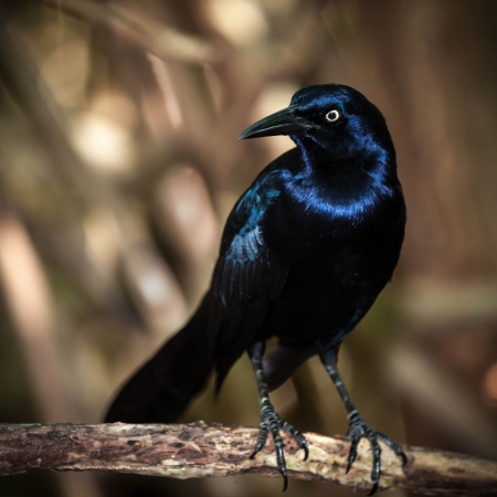 melodious: Melodious Blackbird perched on a branch
