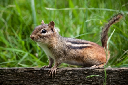 chipmunk: Chipmunk perched on a a wooden fence with green grass in the background Stock Photo