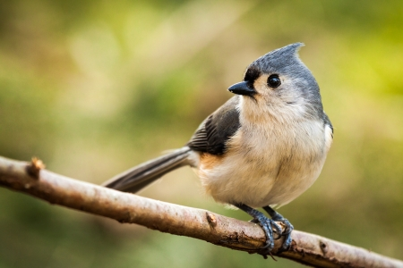 songbird: Tufted Titmouse perched on a branch