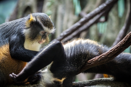 hilarious: Hilarious monkeys grooming each other