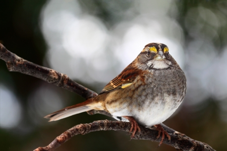 brown throated: White-throated sparrow perched on branch