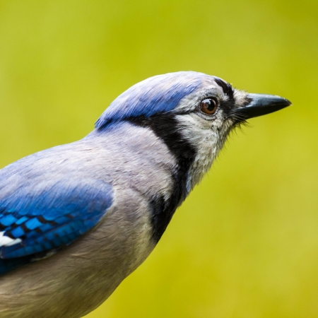 green jay: Blue Jay primer plano sobre un fondo verde
