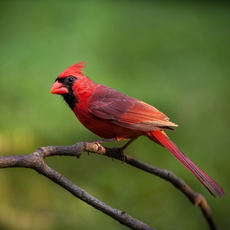 cardinal bird: Male Northern Cardinal perched on a branch against a green background Stock Photo