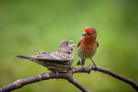 Adult House Finch couple perched on a branch against a green background
