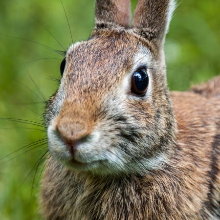 Closeup of wild eastern brown rabbit