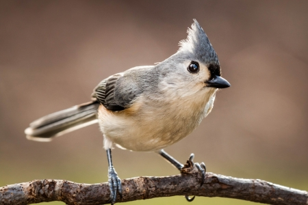 tufted: Tufted Titmouse perched on a branch