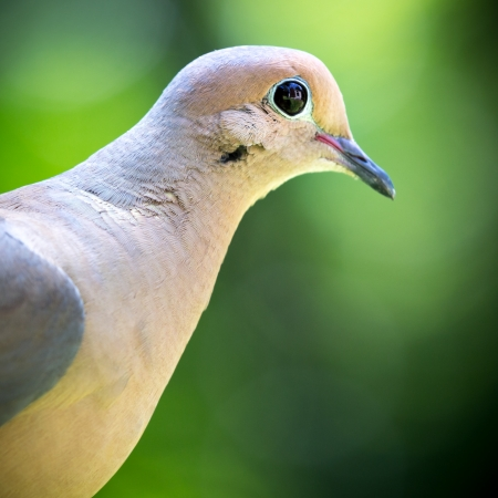 turtle dove: Closeup of a mourning dove - profile photo against a blurred green background