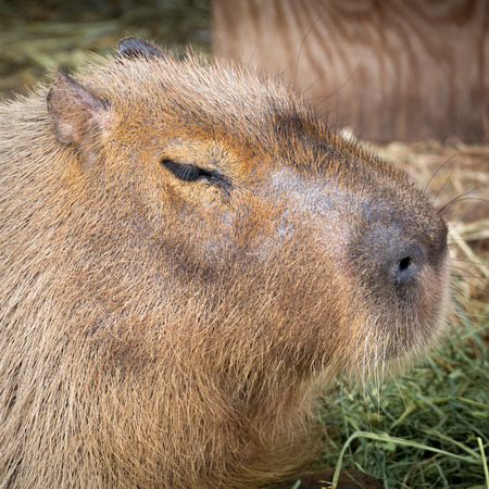 Capybara portrait. Native of South America, the Capybara is the largest rodent in the world