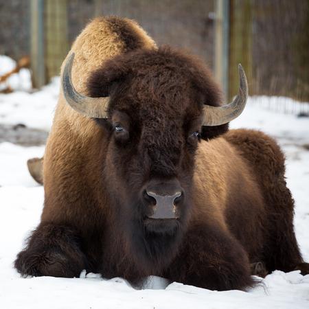 Amerikaanse bizon zitten in de sneeuw Stockfoto