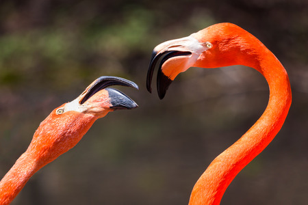 Couple of American Falmingos fighting. The American flamingo (Phoenicopterus ruber) is a large species of flamingo, also known as the Caribbean flamingo Stock Photo