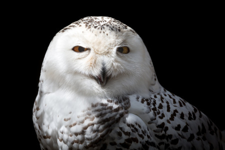 white bird: Female Snowy owl. The snowy owl, a yellow-eyed, black-beaked, white bird is the one of the largest species of owl Stock Photo