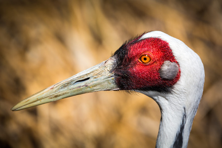 gruiformes: Portrait of male Sarus Crane. The Sarus Crane (Grus antigone) is the tallest flying bird. Stock Photo