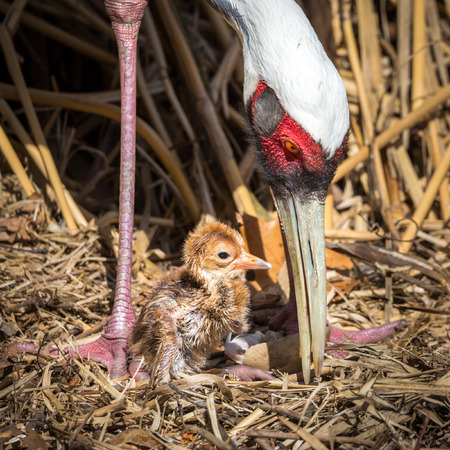 gruiformes: Female Sarus Crane protecting her just hatched baby chick. The Sarus Crane (Grus antigone) is the tallest flying bird Stock Photo