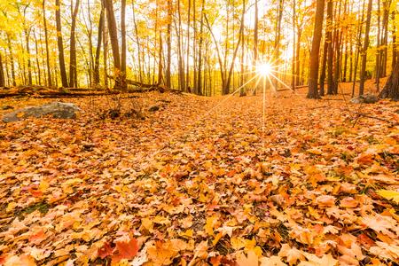 dode bladeren: Gevallen bladeren en herfst gebladerte verlicht door zonsondergang zonnestralen, schijnt door de bomen het bos, bij Bear Mountain State Park, New York