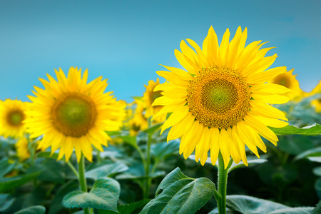 helianthus: Large sunflower in focus against blue sky Stock Photo