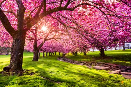 ドーバー、ニュージャージー、Hurd 公園の桜の木の花爆発