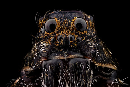 araneae: Portrait of a wolf spider magnified 10 times. Real life frame width is 2.2mm.