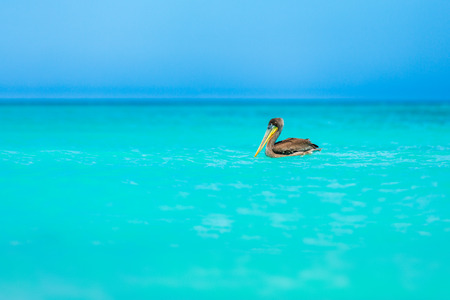 Juvenile brown pelican floats on a turquoise Caribbean sea at Eagle Beach, Aruba