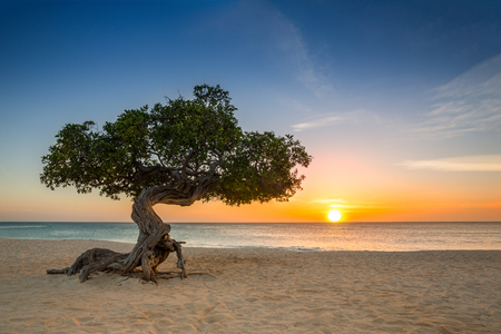 Divi-divi tree on Eagle Beach. The famous Divi Divi tree is Aruba's natural compass, always pointing in a southwesterly direction due to the trade winds that blow across the island Stock Photo