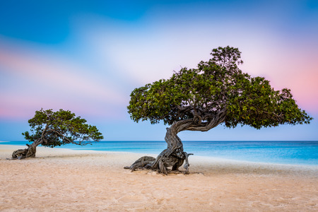 Divi-Divi trees on Eagle Beach. Typical strong trade winds constantly battering the island shake the canopy Stock Photo