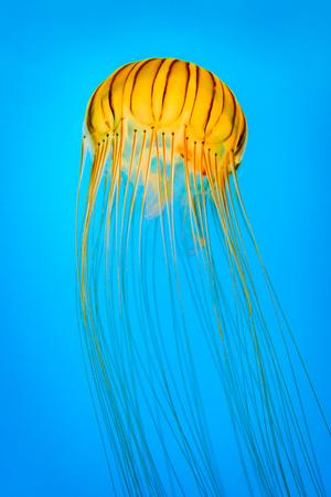 アカクラゲ別名北の海のイラクサ。ギリシャ語の単語 melas、アスター、意味からその名の由来種