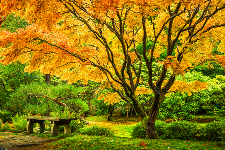 Japanese maple tree with golden fall foliage next to an empty bench in Seattles Washington Park Arboretum Botanical Garden Stock Photo