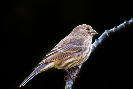 Adult female house finch perched on a branch, against dark background. Banque d'images - 100065762
