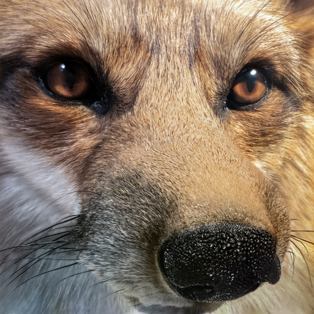 Close-up portrait of a eastern American red fox Banque d'images - 115066727