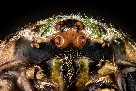 Portrait of a orbweaver spider magnified 10 times. Real life frame width is 2.2mm. Banque d'images - 116139533