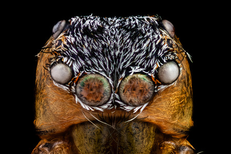 Portrait of a jumping spider magnified 10 times. Real life frame width is 2.2mm. Banque d'images - 120564144