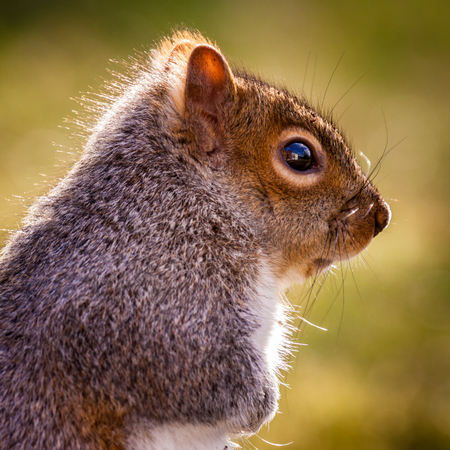 Close-up profile portrait of an Eastern Gray Squirrel Banque d'images - 120564188