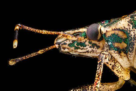 Extremes Makro - Profilporträt eines Stink Bug (Halyomorpha halys) fotografiert durch ein Mikroskop bei x4-Vergrößerung. Im wirklichen Leben beträgt die Breite des Rahmens 5 mm.