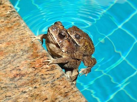 bufo bufo: Couple of Asian common toads, bufo melanostictus Stock Photo