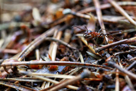 antrey: Macro forest ant in an anthill closeup