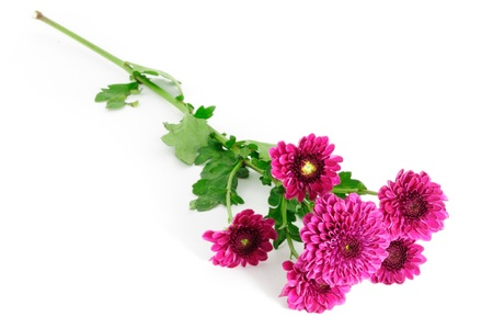 Chrysanthemums flower isolated on white background Stock Photo