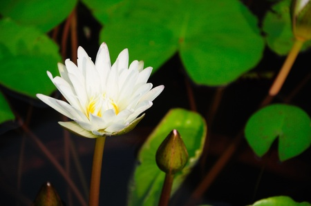 Closeup of Lotus flower