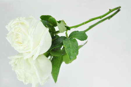 White roses isolated on white Stock Photo