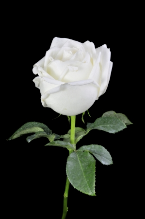 White roses isolated on Black Background Stock Photo - 15219325