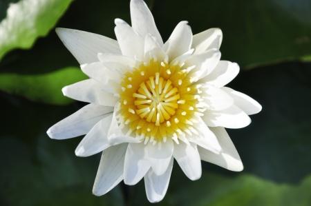A closeup shot of a beautiful lotus flower