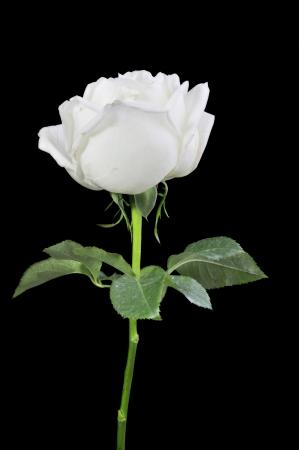 White roses isolated on Black Background Stock Photo - 15219230